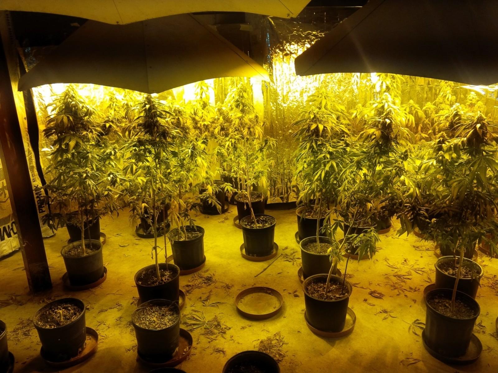 Police seize just under 110 thousand dollars worth of marijuana