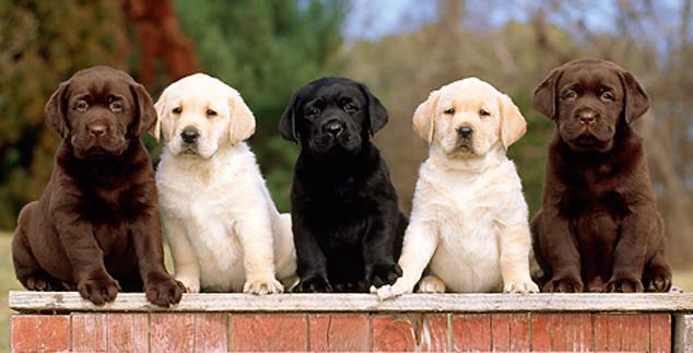 labspuppies