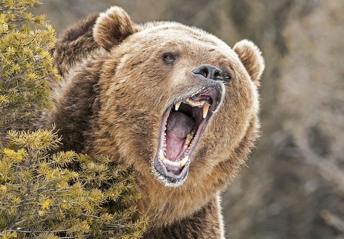 Forestry worker in Terrace comes away from grizzly attack unscathed | CFNR  Network