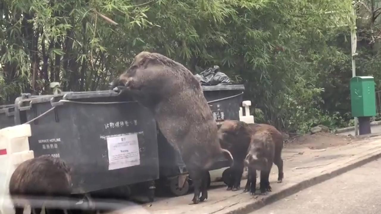 """Pigzilla"" seen rummaging through dumpster at Elementary School"