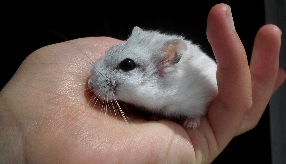 Student Says She Had to Flush Hamster Down Toilet After Bad Information From Spirit Airlines