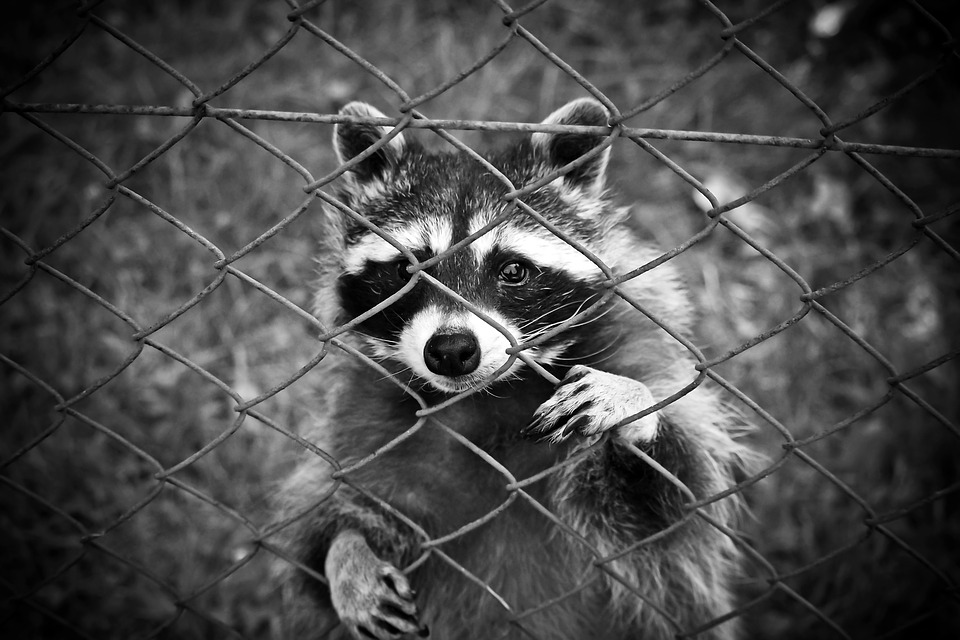"Town Reports ""Zombie"" Racoons"