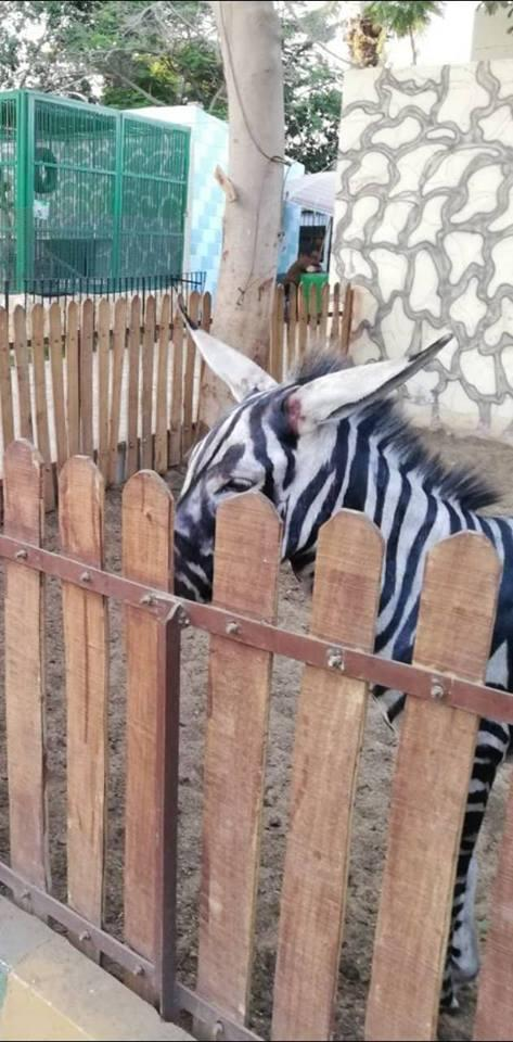 Zoo Paints Donkey To Pass Off As Zebra