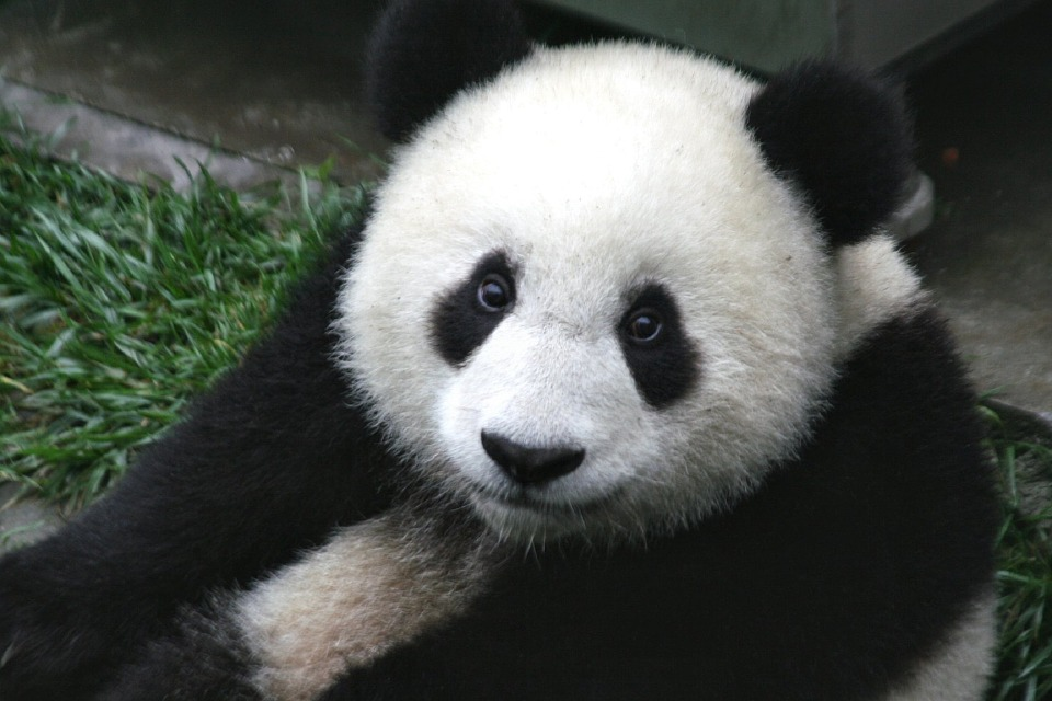 Scientists Discover Pandas Sing to Each Other for Sex