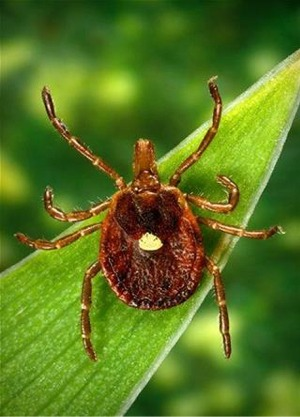 Tick That Causes Meat Allergy Appears to Be Spreading