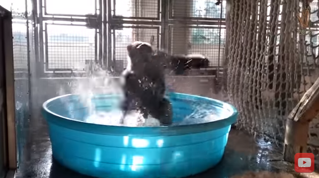 And Now, A Gorilla Dancing In A Pool