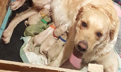 First Tidbit Of The Day: Rare Green Puppy Born to Golden Retriever