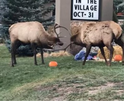 An Epic Elk Battle...Over Pumpkins!