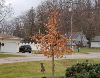 The Little Tree That Just Won't Give Up!
