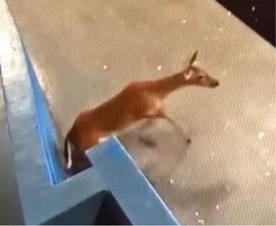 Amazing Video Of A Deer Crashing Through Door