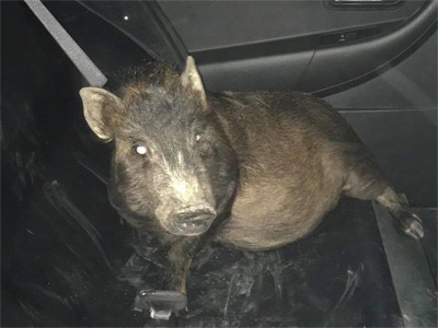 An Ohio Man Reported Being Stalked By...A Pig!