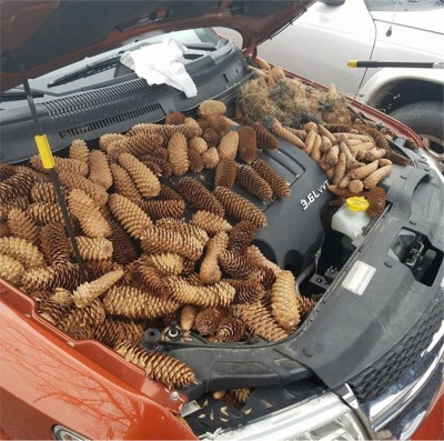 Squirrels In Michigan Use A Guys Car For Pine Cone Storage