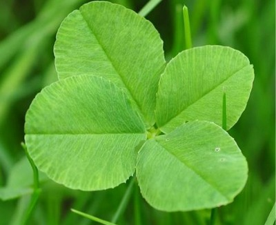 Pennsylvania Girls Sets Four-Leaf Clover Record