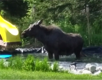 A Moose On The Loose In Alaska Crashed A Birthday Party