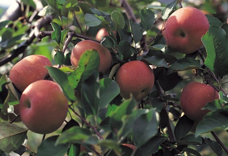 Faith of an Apple Seed