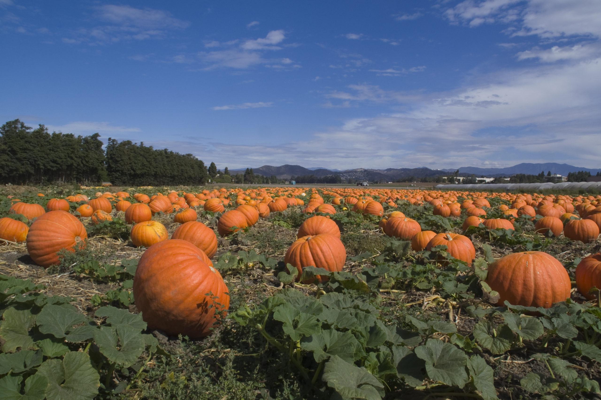 Ten Vancouver-Area Pumpkin Patches