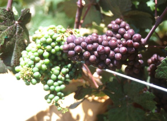 Schumer Pushes for Funding for Geneva's Grape Genetics Research Unit