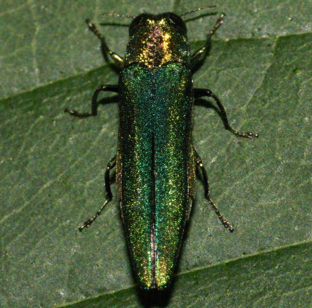 Emerald Ash Borer Still Cutting Destructive Path