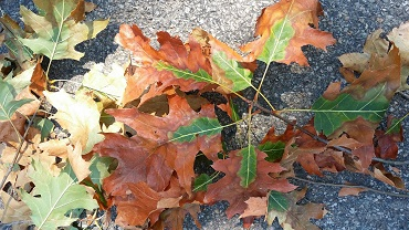 DEC: Oak Wilt Detected in South Bristol