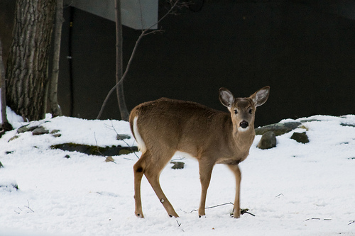 Zombie Deer Disease Detected in New York