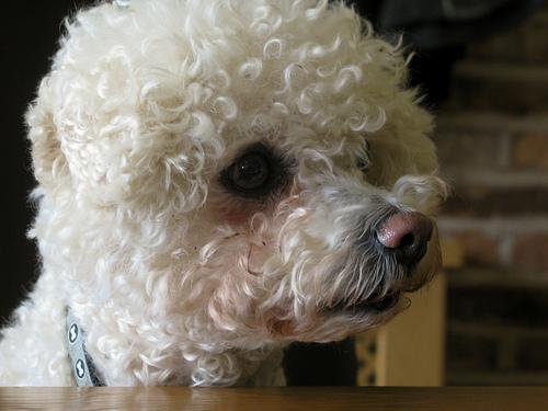 Found: A bichon frise/terrier cross