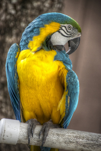 Found: A blue and yellow parrot