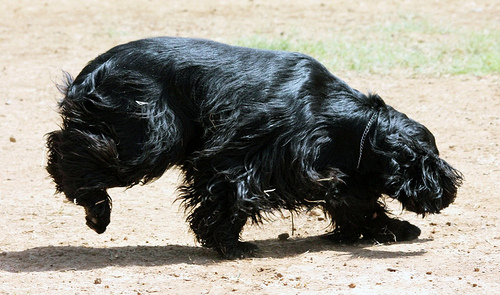 Lost: Black Cocker Spaniel
