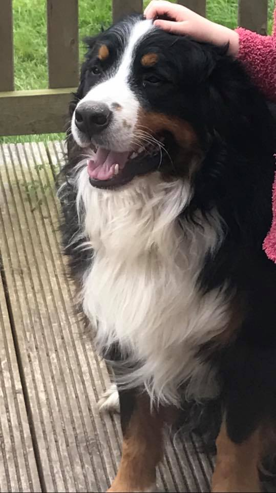 Lost: Bernese Mountain Dog
