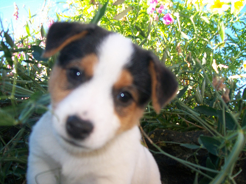 Found:  A brown and white jack Russell