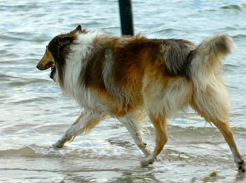 Found: Collie/Alsation type dog