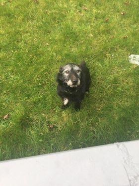 Found: small black dog