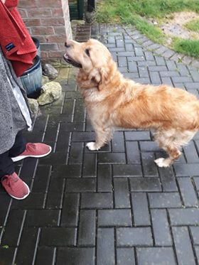 Found: young golden retriever