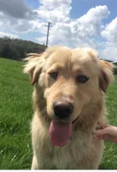 Found: golden retriever dog