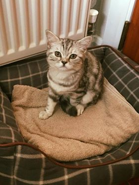 Lost: A female silver tabby cat