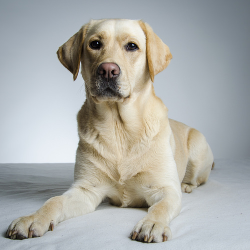 Found: A male golden Labrador