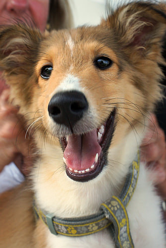 Lost: A male collie dog