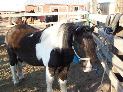 Found: 2 Shetland Pony's
