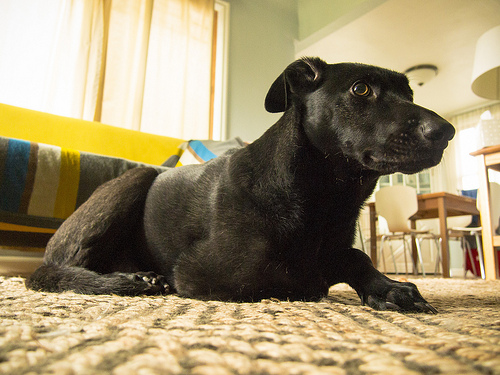 Lost: a whippet cross labrador