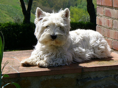 Lost: A West highland Terrier