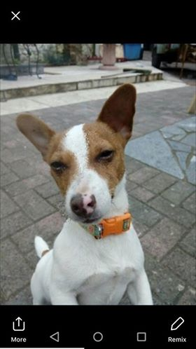 Lost: a white and tan Jack Russell