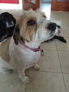Lost: female brown and white large, long-haired terrier