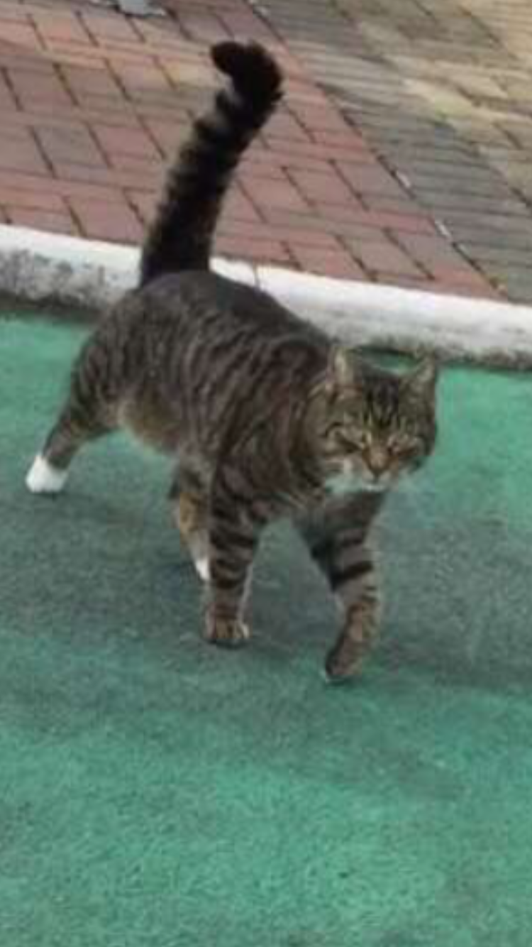 Lost: a male tabby cat