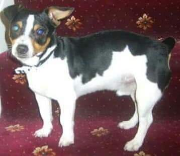 Lost: Male, black white & brown miniature Jack Russell