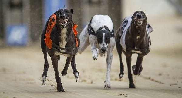 Greyhound Racing News (courtesy of Mark Phillips)