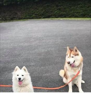 Lost:  2 Huskies