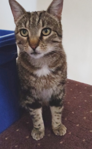 Lost: a black and grey tabby cat