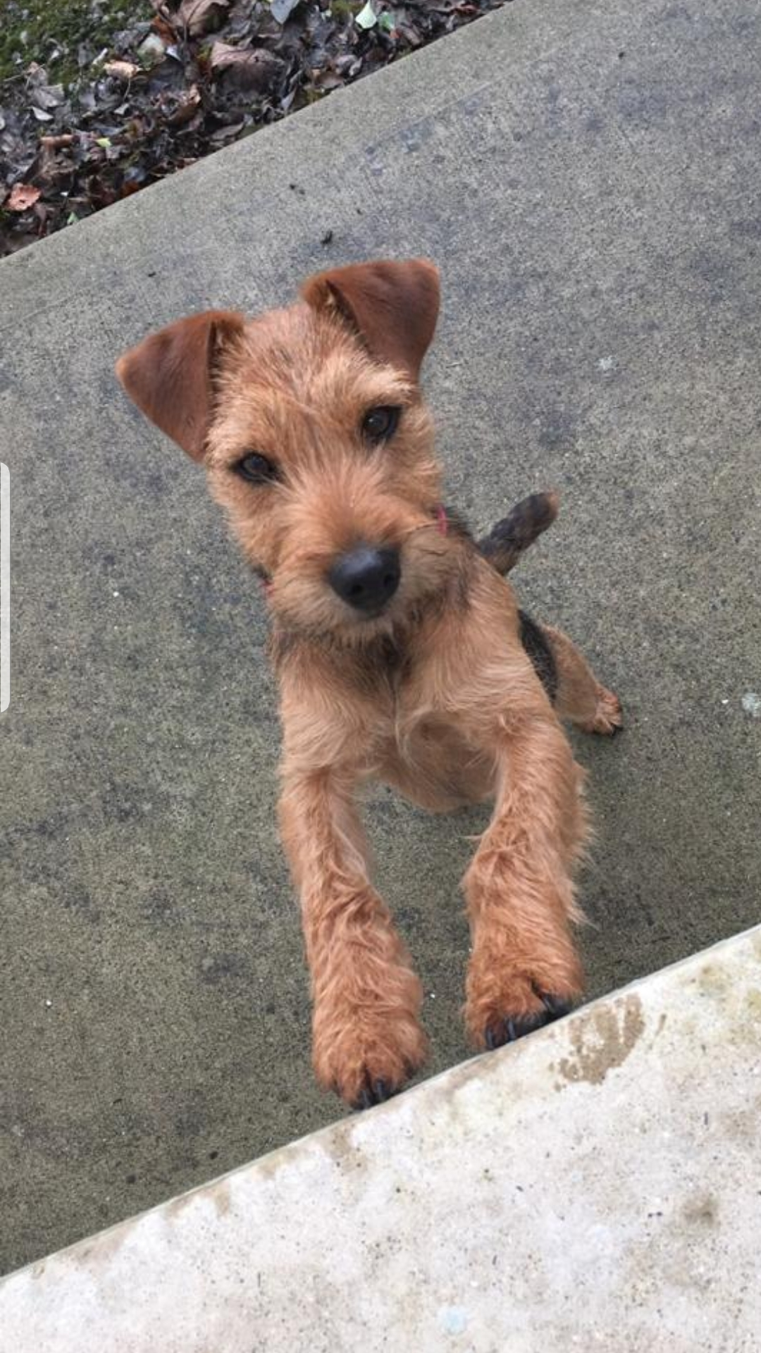 Lost: Brown/ Red Male Terrier