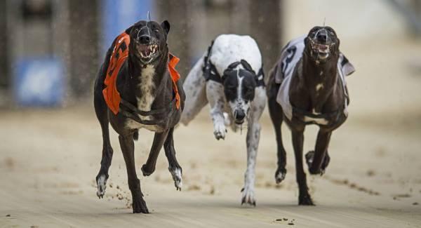 Kilcohan dog racing betting bouchard vs halep betting expert tips