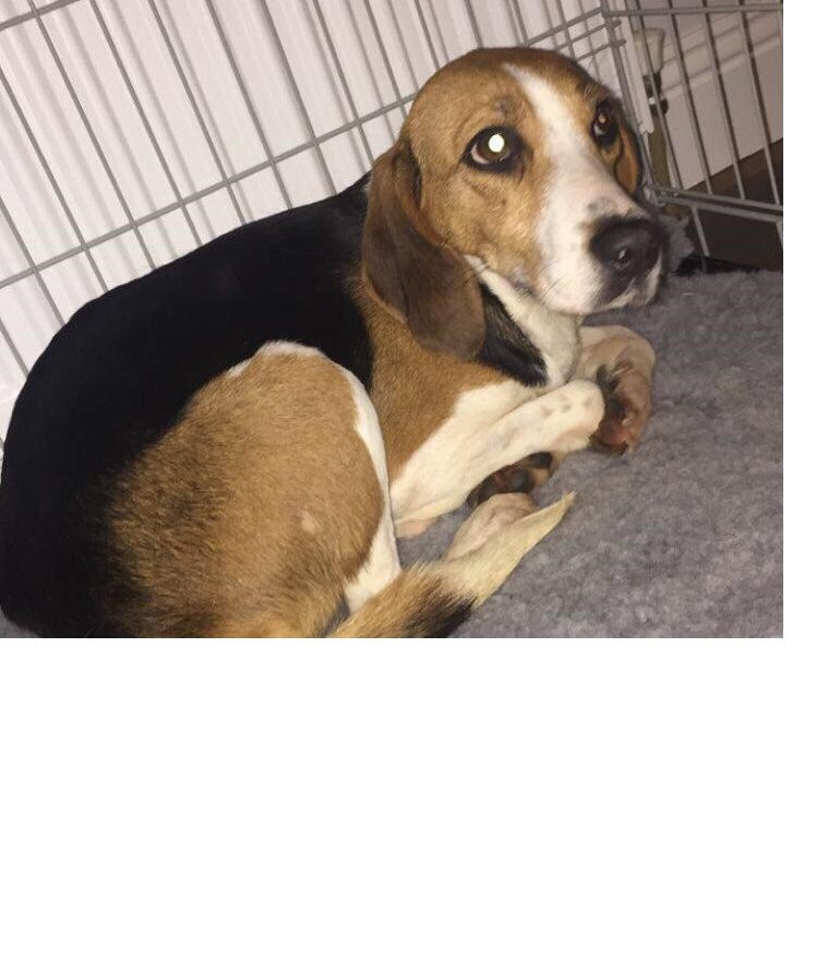Lost: 3 year old Beagle mix