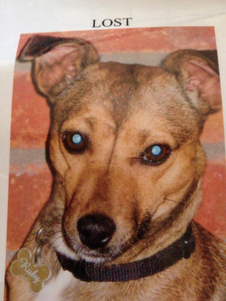 Lost: a tan terrier cross